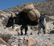 yak with pack