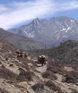 yak caravan in mountains